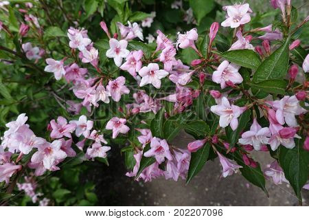 Lots Of Pink Flowers Of Weigela Florida