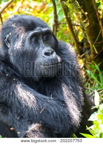 Portrait of adult female eastern gorilla, Gorilla beringei, in natural habitat. Critically endangered primate. Green jungle forests of Bwindi Impenetrable National Park, Uganda, Africa.