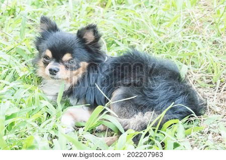 Long-haired tricolor chihuahua dog on green grass lawn