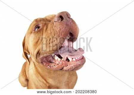 Bordeaux Dogge Head Isolated