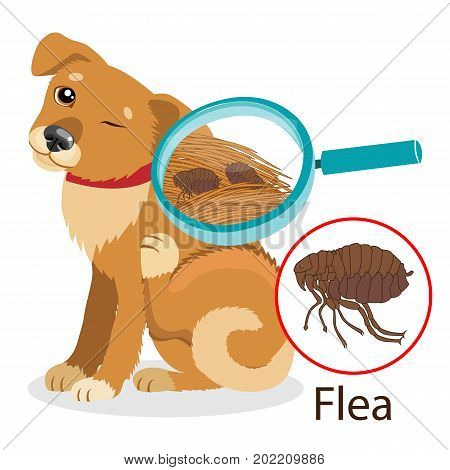 Dog Parasite. Pet Flea Treatment. Flea In The Fur As A Close Up Magnification Vector. Spread Of Infection. Pet Veterinary Medicine Vector. Flea Control for Dogs.