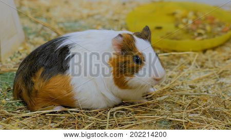 Guinea Pig Look At The Camera In Zoo