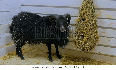 Black Sheep Eat Hay In Farm