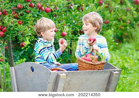 Two funny happy little kids boys picking and eating red apples on organic farm, autumn outdoors. Beautiful little preschool children, siblings, twins and best friends having fun with helping harvesting