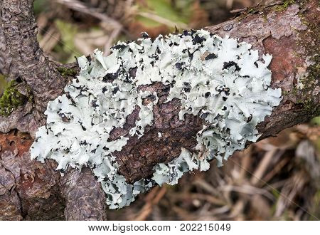 Lichen growing from a decaying tree trunk