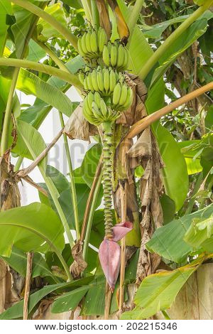 Banana tree with bunch of green bananas and red banana flower in the garden