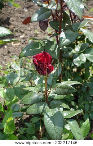 Closeup Of Dark Red Flower Of Garden Rose