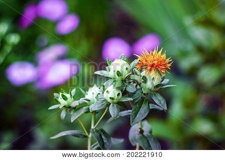 Carthamus lanatus, woolly distaff thistle, downy safflower, or saffron thistle