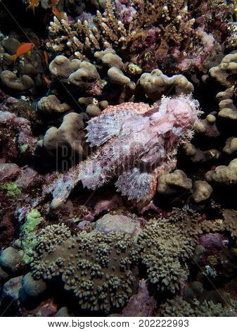 Ghostlike Bearded Scorpionfish on Big Brother Island, Red Sea