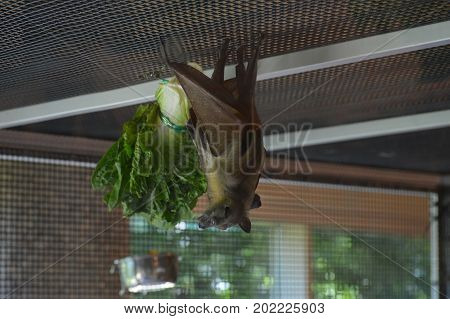 A brown bat hanging upside down in a cage