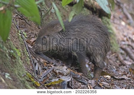 Collared Peccary in the Rain Forest at La Selva Biological Station in Costa Rica