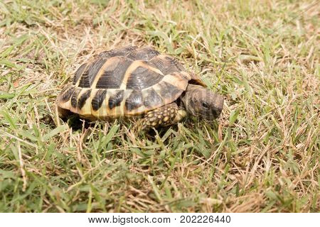Eastern Hermann's Tortoise, European Terrestrial Testudo Hermanni Boettgeri