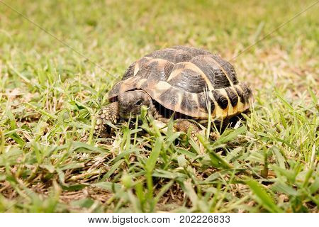 Turtle Walking On The Grass. Eastern Hermann Tortoise, European Terrestrial Testudo Hermanni Boettge