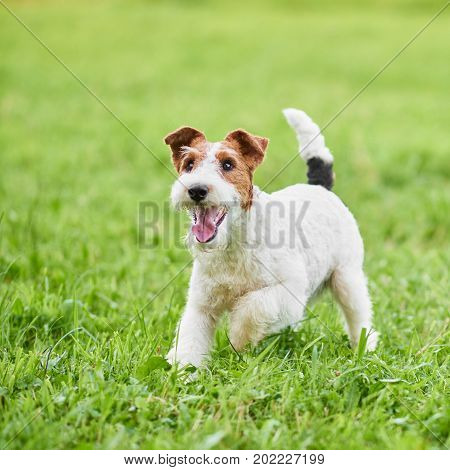 Wire fox terrier dog enjoying running outdoors in the park copyspace green grass nature happiness lifestyle health animals.