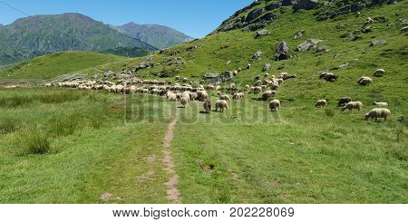 Flock Herd Of Sheep In The Mountains In Freedom