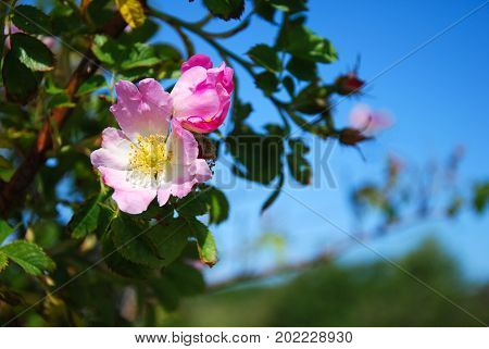 Blooming pink wild rose on a branch