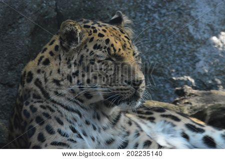 An Amur leopard resting on a rock