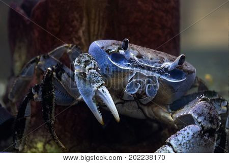 Chesapeake blue crab is a species of crab native to the waters of the western Atlantic Ocean and the Gulf of Mexico