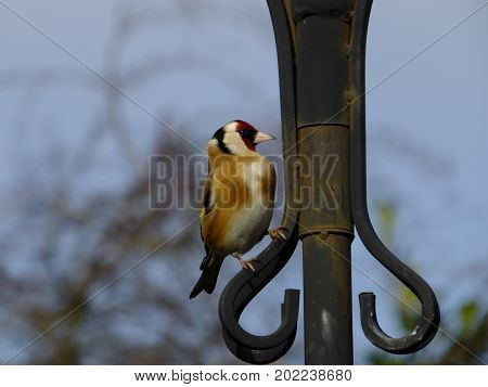 Goldfinch perched on a metal pole, against a background of blue sky and trees