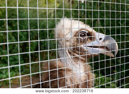 the young vulture (Gyps fulvus) in a cage at the zoo