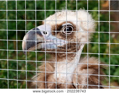 The young vulture (Gyps fulvus) in a cage at the zoo. Concept of cruel treatment