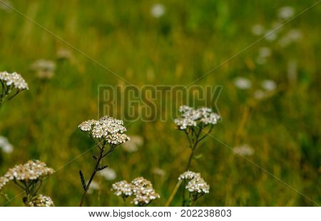 White flowers in a field amongst many others