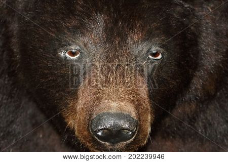 Close-up of a stuffed Black Bear (Ursus americanus)
