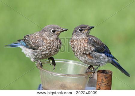 Pair of Juvenile Eastern Bluebirds (Sialia sialis) sitting on a feeder