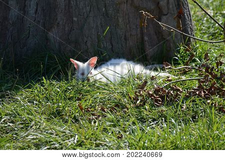 An albino wallaby laying in the grass