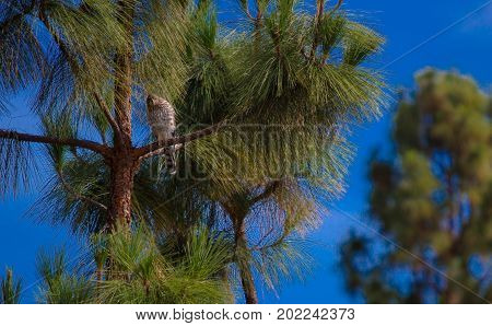 Distant shot of a Cooper's Hawk in a tree.