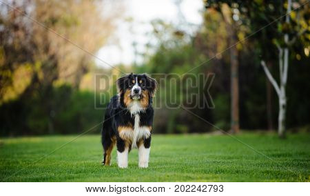 Australian Shepherd dog standing in park surrounded by trees