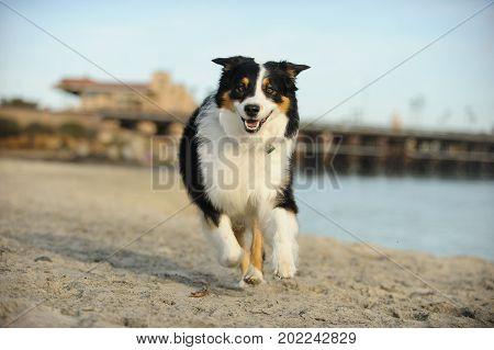 Australian Shepherd dog running on Del Mar dog beach in California