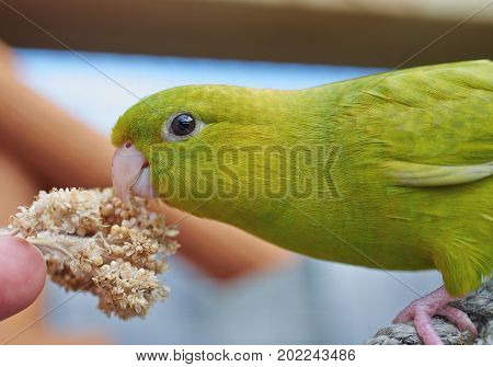 Portrait of a green Barred parakeet (Bolborhynchus lineola). Close up.
