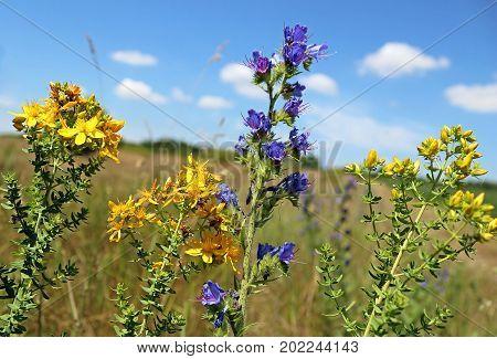 St John's-wort or common Saint John's wort Hypericum perforatum and Blue flowers