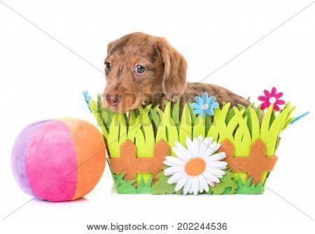 puppy Wire-haired Dachshund in front of white background