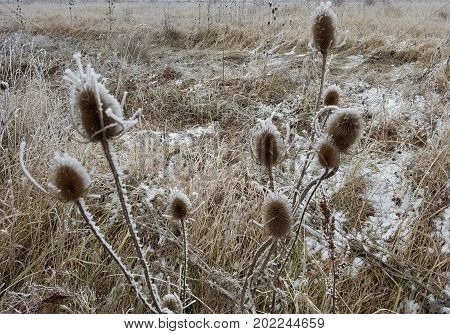 Wilted Thistle In A Frozen Field