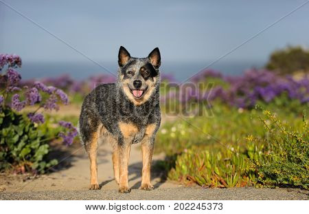Australian Cattle Dog outdoor portrait standing in field with purple flowers