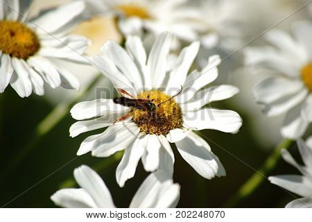 The macro closeup of a longhorn beetle Stenopterus rufus on a daisy xylanthemum.