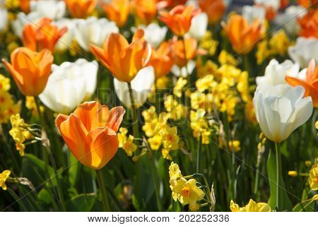 The background of colored tulips and daffodils