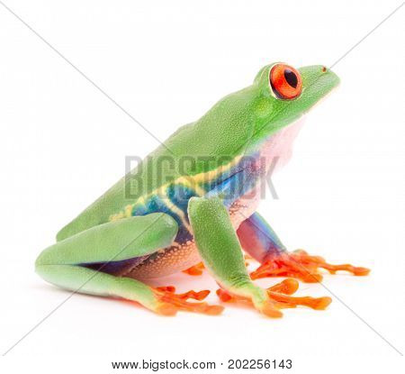 Red eyed monkey tree frog, a tropical animal from the rain forest in Costa Rica isolated on white background. This amphibian is an endangered species and needs nature conservation.