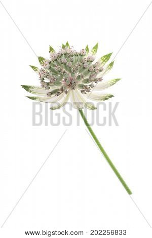 Astrantia flower, other names are Melancholy gentlemen and Hatties pincushion.