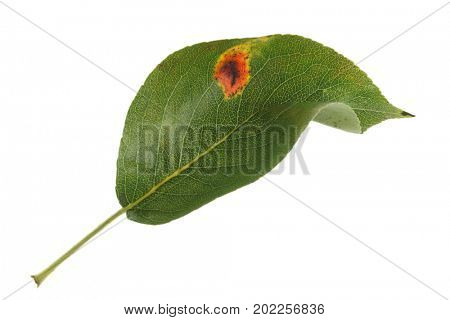 Pear leaf showing fungal pear rust infection, isolated on a white background.
