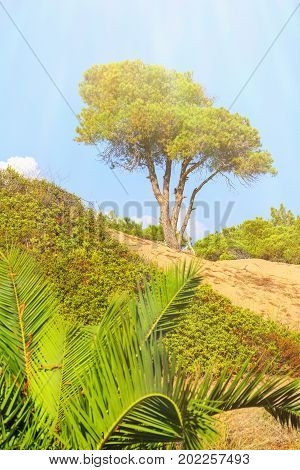 Pine on sandy hillock surrounded by shrubs and young palm trees against the blue sky
