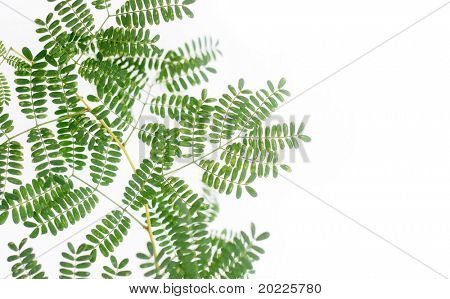 green leaves against white background (deliberate use of shallow depth of field)