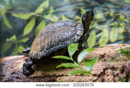 A small turtle warms itself by basking in the sun on a log in Ocala National Forest