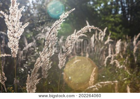 Shiny Dry Grass In Sun Backlight. Nature Background.
