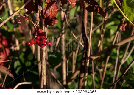 Bright Red Berries Of A Guelder-rose Or Viburnum Opulus Bush