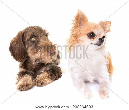 puppy Wire-haired Dachshund and chihuahua in front of white background
