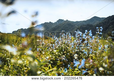 Tilt-shift shooting of scenery with beautiful soft blue wildflowers among greenery in foreground and mountain range in background sunny summer day Altai mountains near Kuyus district Russia