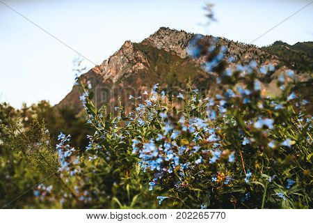 Landscape with light-blue flowers in among greenery of native grasses in foreground and two peaks in background Altai mountains near Chemal district Russia tilt-shift shooting
